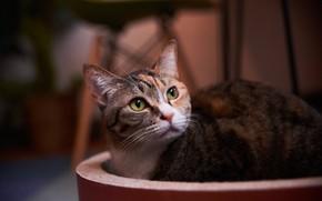 Картинка кошка, кот, взгляд, боке