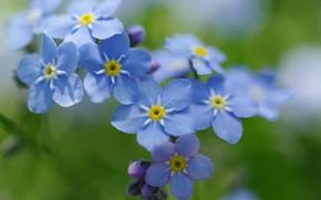 Картинка макро, радость, цветы, природа, нежность, красота, весна, май, первоцветы, незабудки, дача, флора, голубой цвет