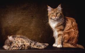Обои кот, сидит, кошки, красавцы, пара, порода, рыжий, мейн-кун, коты, серый, два, темный фон, лежит