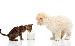 Картинка котенок, собака, молоко, dogs, cats, Мальтезе, milk
