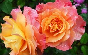 Картинка капли, цветы, роса, роза, лепестки, сад
