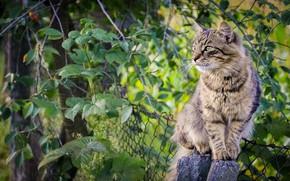 Обои листья, кот, забор
