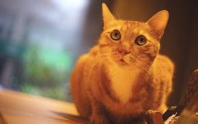 Картинка кошка, глаза, кот, стол, фон, стена, портрет, окно, рыжий, мордашка, сидит, фотосессия, помещение, подставка, выражение, …