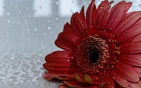 Картинка цветок, капли, гербера
