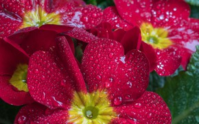 Картинка капли, цветы, лепестки