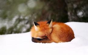 Картинка зима, снег, фон, лиса, лис, боке