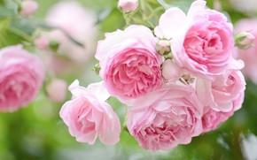 Картинка макро, розы, розовые, бутоны