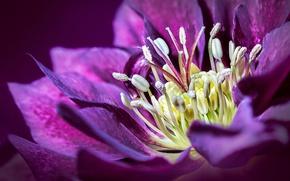 Картинка цветок, лепестки, морозник