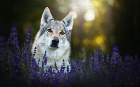 Картинка взгляд, морда, цветы, собака, лаванда, чехословацкая волчья собака