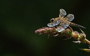 Обои стрекоза, насекомое, плоскобрюх четырёхпятнистый, четырёхпятнистая стрекоза