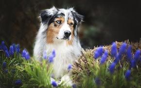 Обои цветы, друг, собака, весна, австралийская овчарка, аусси