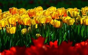 Картинка зелень, поле, листья, цветы, яркие, весна, желтые, сад, тюльпаны, красные, бутоны, клумба, много, сочно