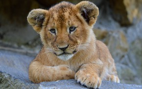 Обои львёнок, лапы, лев, кошки, зоопарк, львенок, дикие кошки, морда, природа, фон, камни, лежит, взгляд, портрет