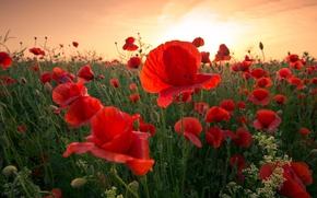 Картинка поле, небо, цветы, красный, мак, маки