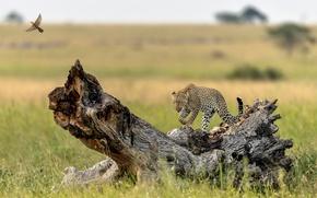 Обои дерево, птица, хищник, леопард, грация, коряга