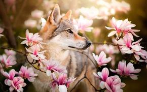 Картинка цветы, ветки, собака, Chinua, чехословацкая волчья собака