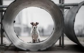 Картинка взгляд, друг, труба, пёс