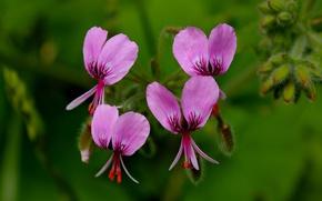 Картинка Макро, Macro, Pink flowers, Розовые цветы