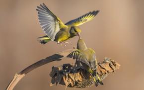 Обои парочка, зеленушки, птицы, подсолнух