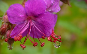 Картинка Макро, Капли, Macro, Drops, Фиолетовый цветок, Purple flower