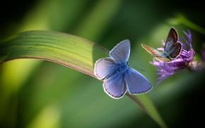 Картинка цветок, макро, бабочки, природа, пара, травинка, Marilena Fattore