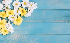 Картинка цветы, фон, хризантемы