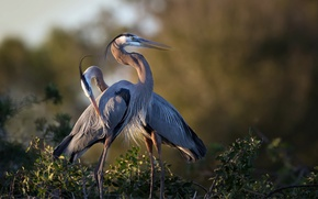 Обои птицы, природа, Great Blue Heron