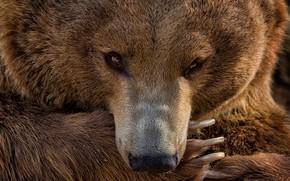Картинка взгляд, лапа, портрет, медведь, маникюр, медведица