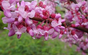 Картинка весна, цветущие деревья, весна 2017, церцис европейский, иудино дерево, иудово дерево, багряник обыкновенный