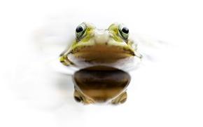 Обои глаза, вода, лягушка, голова, земноводное
