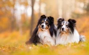 Картинка собаки, фон, парочка, боке, шелти, шетландская овчарка