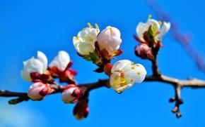 Картинка ветки, дерево, весна, абрикос, цветение