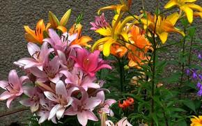 Картинка цветы, лилии, обложка, июль