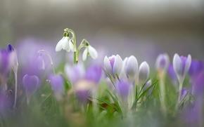 Картинка макро, цветы, весна, подснежники, крокусы