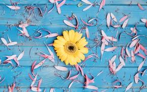 Картинка цветы, фон, лепестки, гербера