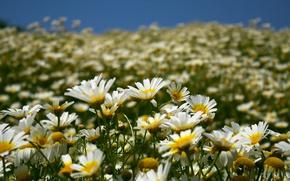Обои небо, лето, природа, поле, лепестки, ромашки, цветы