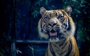 Картинка кошка, хищник, суматранский тигр