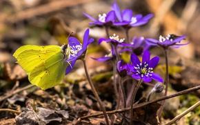 Картинка цветы, бабочка, весна, печёночница