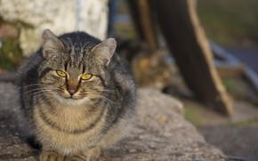 Картинка кот, взгляд, сидит, пушистик