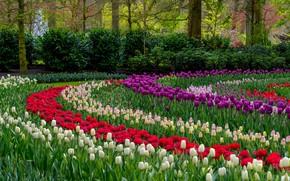 Картинка лепестки, тюльпаны, разноцветные, цветение, много