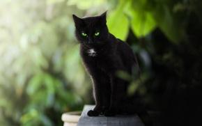 Обои боке, чёрная кошка, зелёные глаза, взгляд, кошка