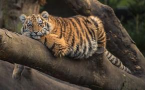 Обои Тигр, Кот, Отдых, Животное, Дерево