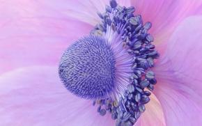 Картинка цветок, макро, лепестки, Анемона, Ветреница