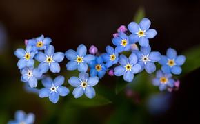 Картинка макро, фон, цветочки, незабудки
