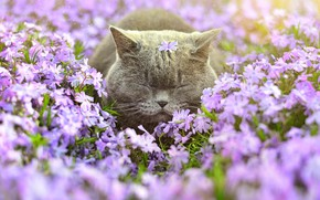 Обои цветы, флоксы, кот