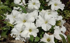 Картинка лето, белые, клумба, петунии, mamala ©