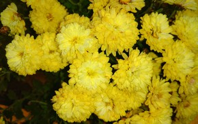 Обои роса, хризантемы, жёлтые, капли