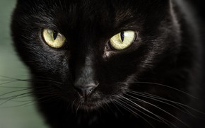 Обои глаза, взгляд, мордочка, чёрная кошка