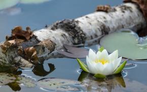Картинка вода, береза, нимфея, водяная лилия