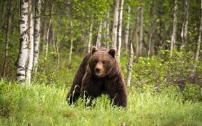 Картинка лес, медведь, Финляндия